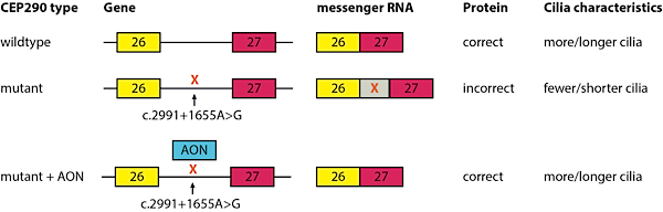The most recurrent CEP290 mutation is positioned in the intron between exon 26 and 27